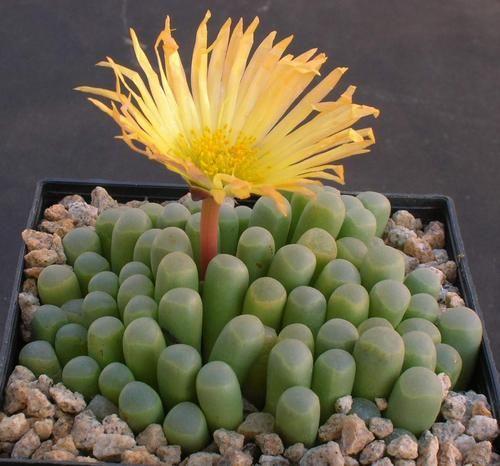 Fenestraria aurantiacan...love love this!
