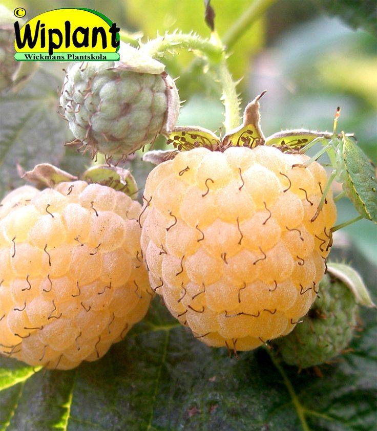Rubus idaeus 'Golden Autumn', gula hösthallon.  Gula stora bär med mjuk smak.  Mognar i september på årsväxten. Nya bär kommer tills ordentlig frost kommer.  Varm plats är bra för tidigare skörd. Beskärs helt antingen höst eller vår = ingen hallonmask. Zon I-III.