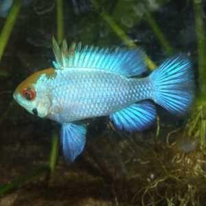 A la família de los cíclidos, que agrupa peces de muchos tamaños y colores, pertenece una particular especie amazónica que goza de una gran ...
