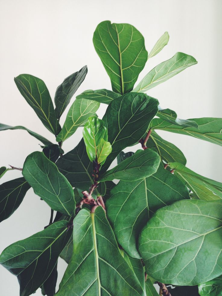 Fiddle leaf fig plants greenery pinterest house so in love and my house - Plants for the house ...