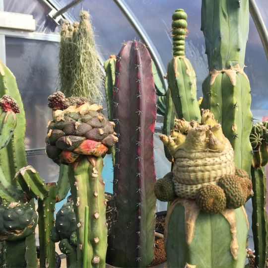 Bizarre grafted cacti! I couldn't even guess what cacti have been used in these.