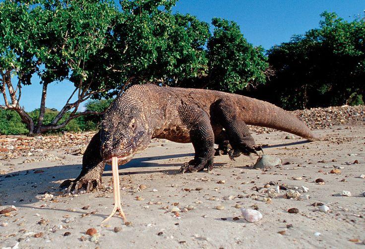 Komodo dragon | La dieta del dragon de Komodo consiste en cerdos, venados, cabras y ...