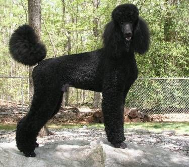 Poodle haircut, Standard poodles and Poodles on Pinterest
