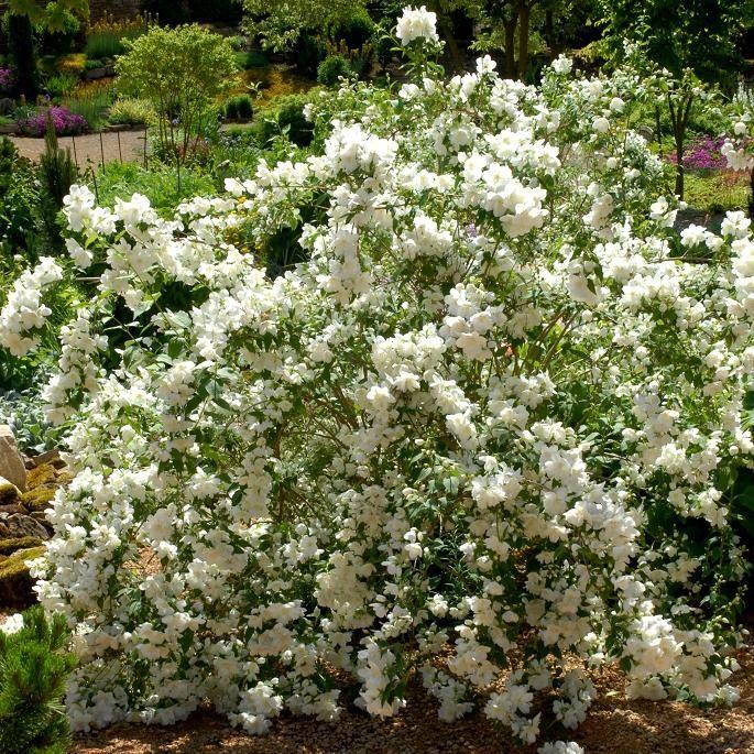 Seringat : planter et tailler – ComprendreChoisir