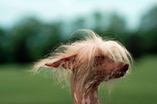 Chinese Crested Dog. Jerry Cooke/Corbis