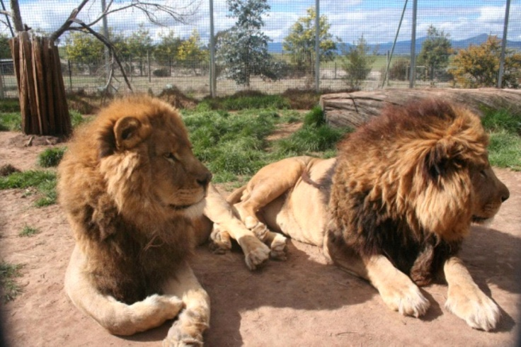 Try Lion Feeding in Mansfield Zoo