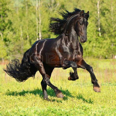 salvaje: Negro caballo Frisón corre al galope en verano