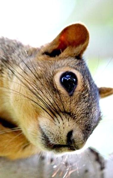Colorado Fox Squirrel