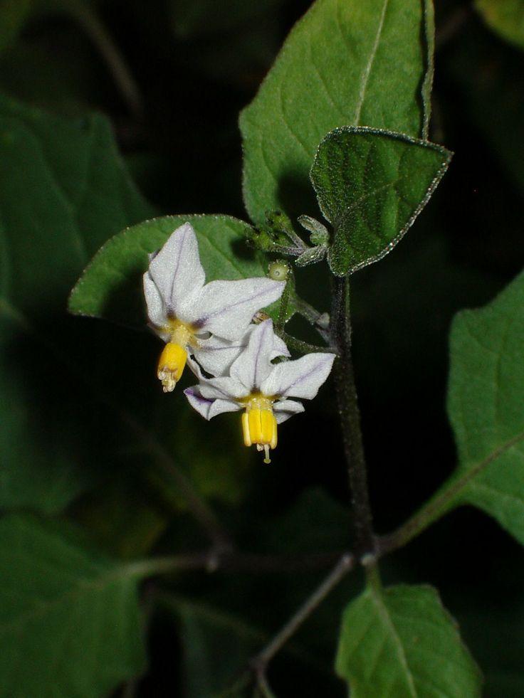 """""""Solanum nigrum"""" , hierba mora,  de la familia de las solanáceas. #herbario"""