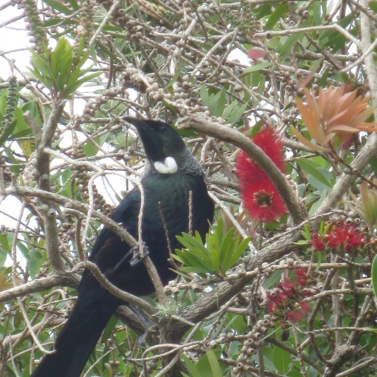 Tui (see why the colonials dubbed it the Parson Bird)