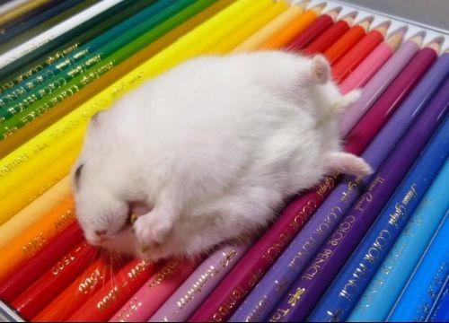 色鉛筆の上でおやつを頬張るハムスターがブサかわすぎると話題に - BIGLOBEニュース