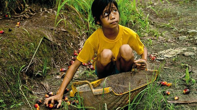 Children often have to help their parents meet their daily harvesting quotas Instead of going to school, many children are forced to work on the oil palm plantations of the Wilmar Group and affiliated companies. According to Amnesty International, child labor taints the palm oil used by numerous household brands: Colgate-Palmolive, Kellogg's, Nestlé, Procter & Gamble and Unilever.