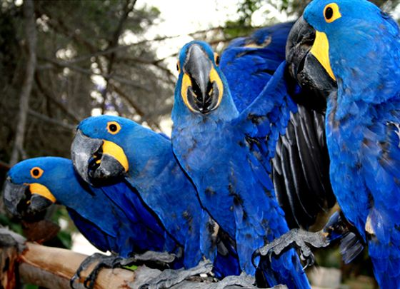 The most intelligent and beautiful specie in parrot family is Macaw. If we say Macaws are the ruling class in parrot family , it would not be wrong. Macaws , the most intelligent parrots are the most prominent in the Psittacidae family.