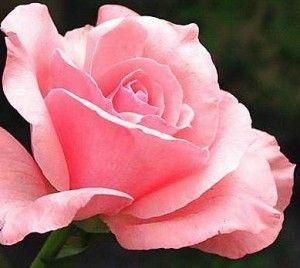 Como Fazer Muda de Rosas Plantar, Cuidar, Roseira Florida