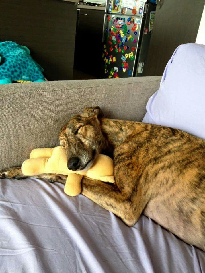 This greyhound loves a good snooze with a special stuffy for his pillow.