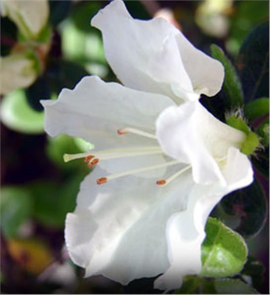 White Azaleas Mollis Hybrid - Rhododendron x kosteranum, 4-6' partial shade