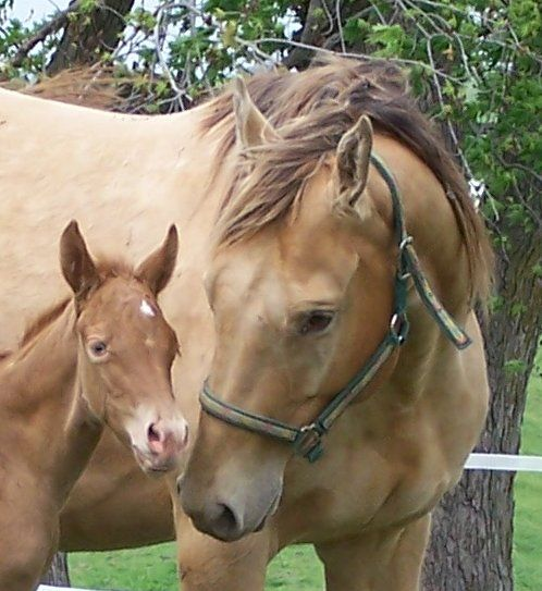 Quarter horse mare with her little champagne filly