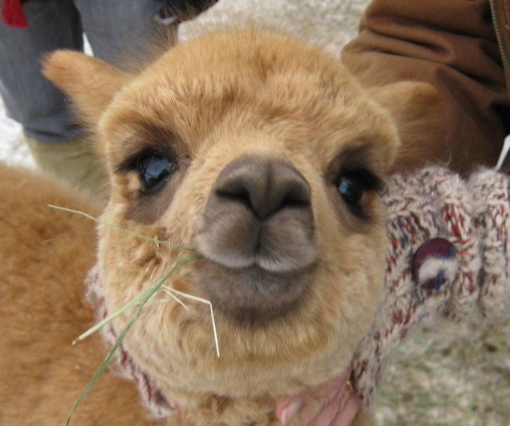 10 best baby alpacas awwwww images on pinterest baby