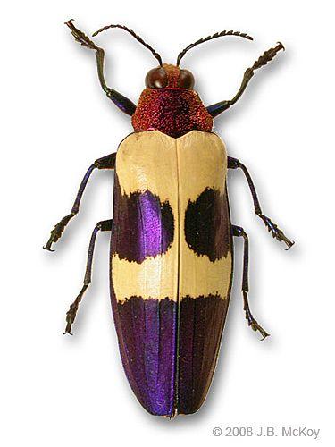 Chrysochroa buqueti beetle by thebutterflyguy, via Flickr
