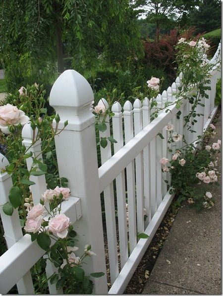 New Dawn Rose On A White Picket Fence. Fence Line For The Beach House Border