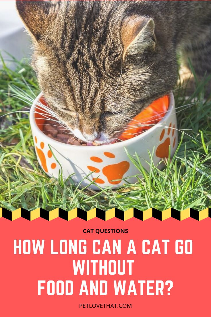 How Long Can A Cat Go Without Food and Water Cats, Cat