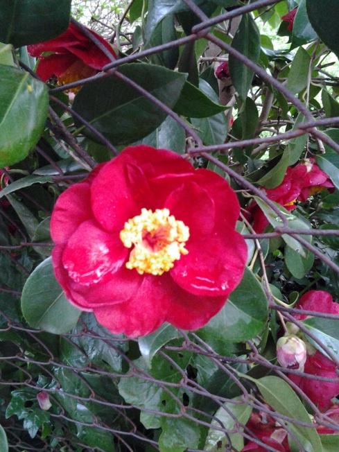 super red camellia!