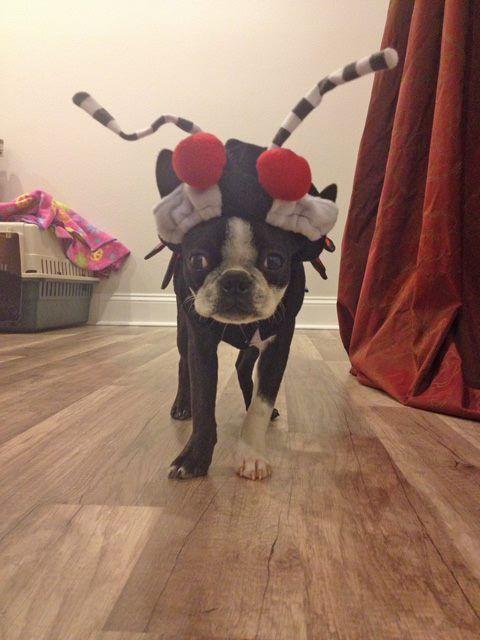 http://nebtrhalloweencontest.tictail.com/ Boston terrier