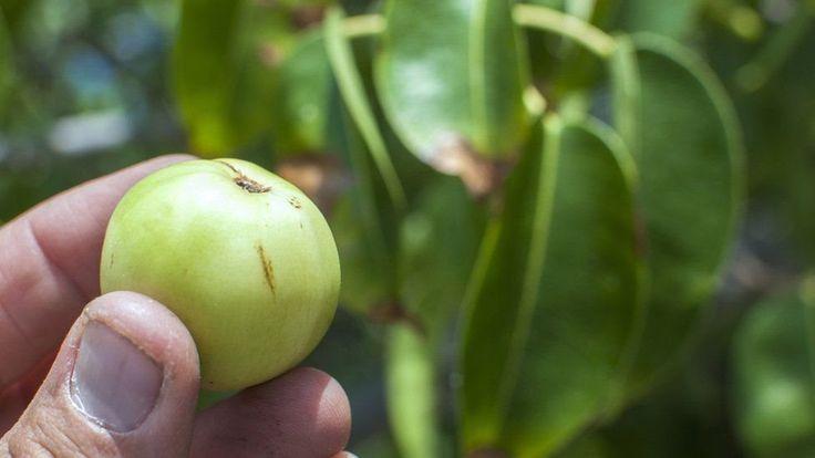 Conozca el árbol de la muerte en Colombia, Venezuela, centroamérica y EEUU @alvarodabril