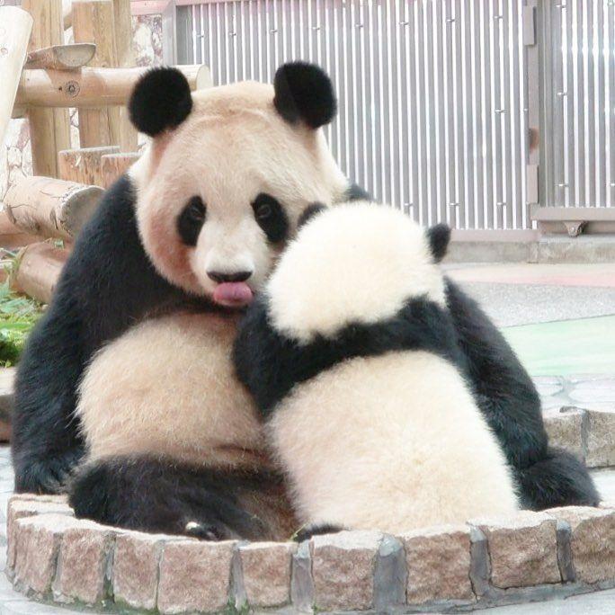 パンダの授乳 良浜 彩浜 親子パンダ 可愛い親子 未来へつながる