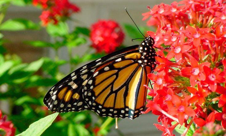 Guía sobre las mariposas monarca, con completa información sobre sus características, su ciclo de vida, su alimentación, y las migraciones de las mariposas Monarca.