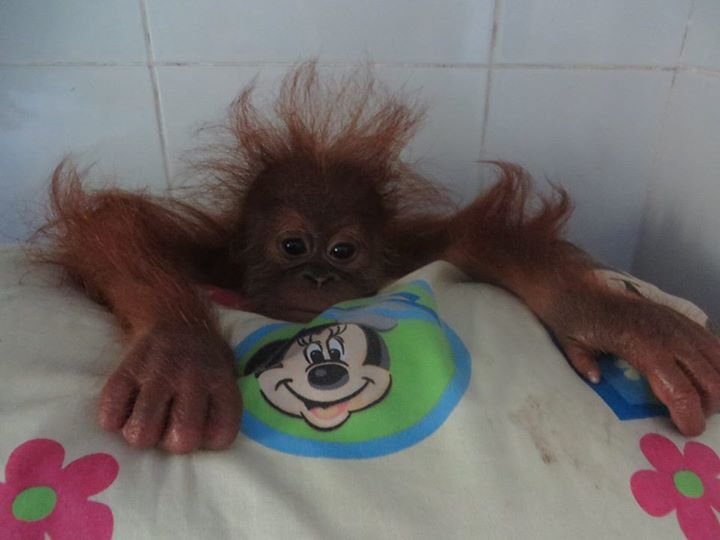 1142 best images about ORANGUTANS - ADOPT A BABY AND HELP ...