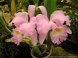 Жизнь орхидей - выращивание орхидей