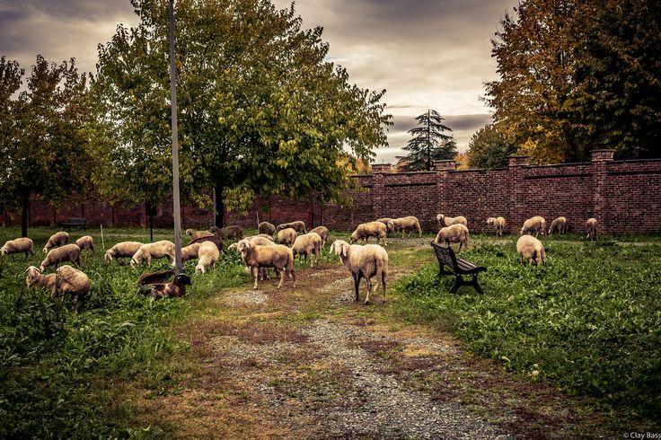 scenetta pastorale in città - l'abitudine di far intervenire le pecore al posto dei tagliaerba nei parchi cittadini, genera situazioni fotografiche interessanti...