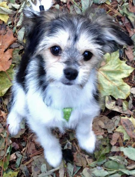 Izzie the Chihuahua Mix puppy - too cute!