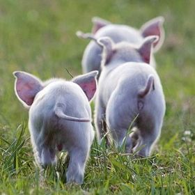 pig butts :)