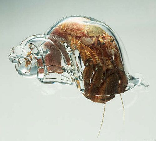 This is so insanely cool. Marine biologists in New Zealand are using glass shells to study hermit crabs.