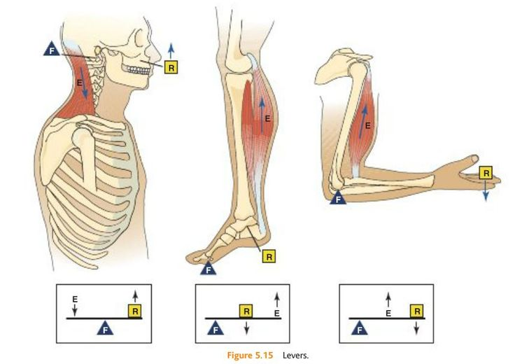 System of Levers - 1st, 2nd, and 3rd class (most of the bones and joints in the body are 3rd class--see far right example)