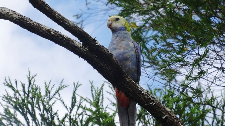 The Pale Headed Rosella is just one of over 227 recorded bird species found in the region.   #Birds #Queensland #Australia #Wildlife