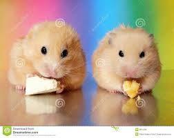 Resultado de imagem para hamster sirio