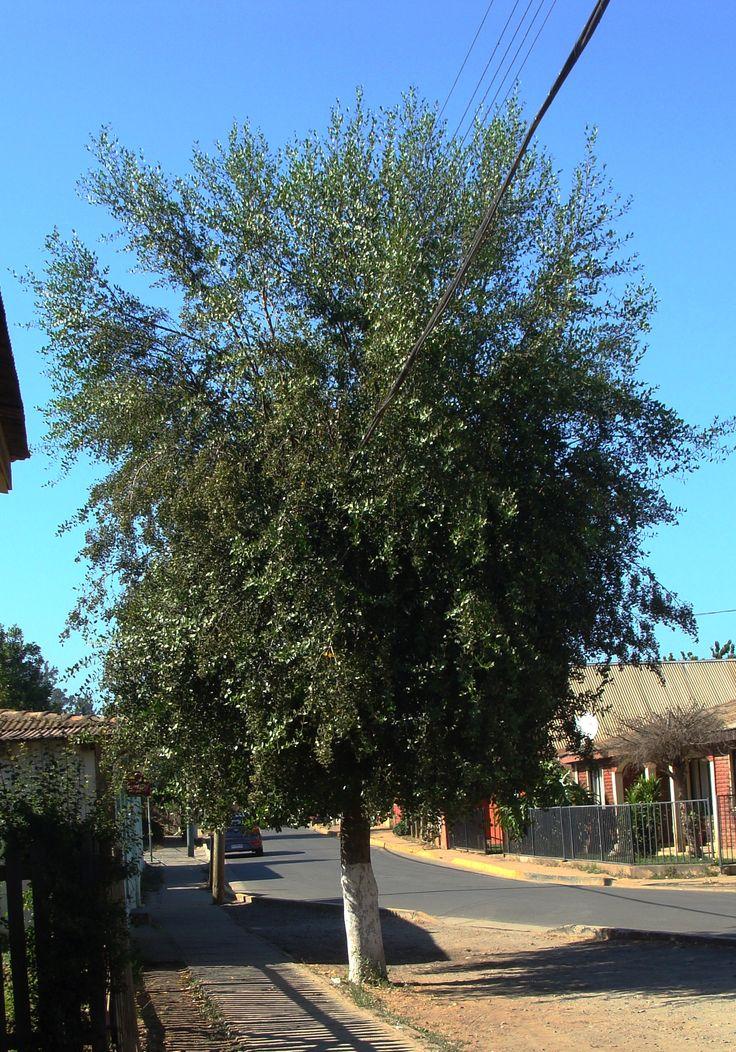 Quillay. como árbol ornamental en calles.