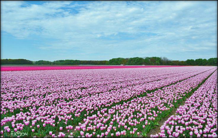 Purple tulips with blue sky