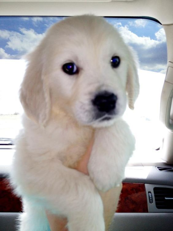 White Golden Retriever Puppy, look at that face!