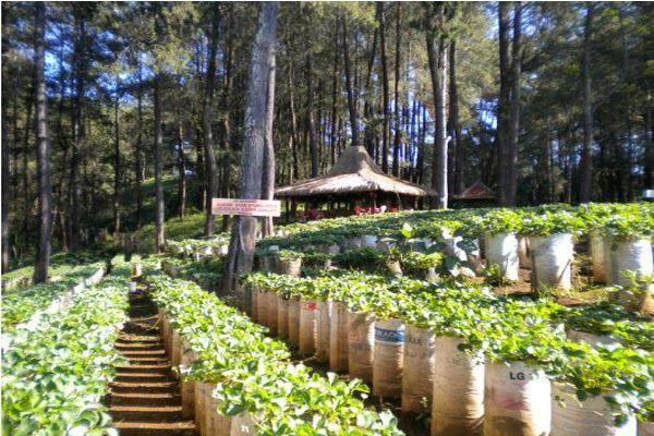 Kebun Strawbery wisata Bandung