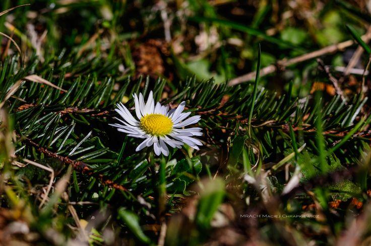 Stokrotka » Wiosenny akcent » MRACH Fotografie