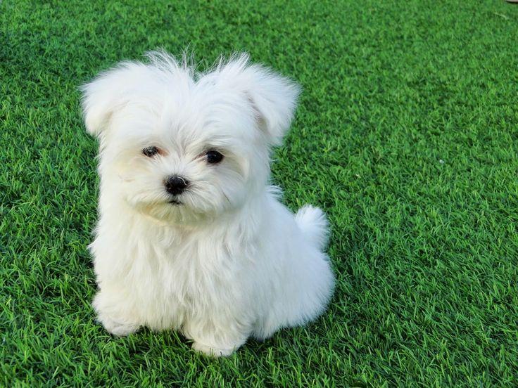 """Bichon Maltes: origen, cuidados, precio,  perro, características, alimentación, imágenes y vídeos: Realidad del Bichon Maltes """"TOY"""""""