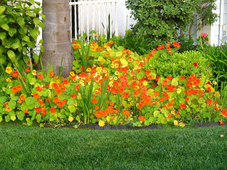 Nasturtiums. I like these a lot. They go crazy, especially the climbers. Very cheerful, and tasty too.