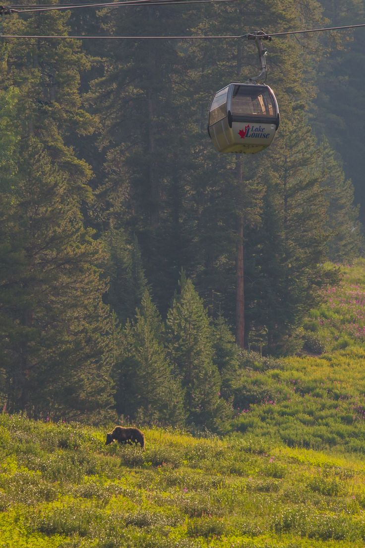 Grizzly bear under our summer gondola.