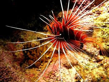 Spiky lion fish