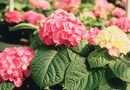 How to Care for 'Merritt's Supreme' Hydrangeas | Home Guides | SF Gate
