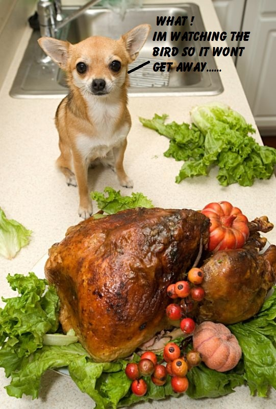 Chihuahua Stealing Turkey Funny Animal Captions